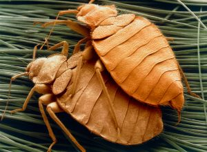 SEM of bed bugs
